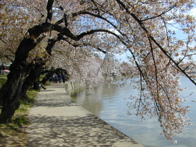 Cherry blossoms in the Tidal Basin